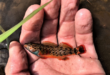 Redline Darter Etheostoma rufilineatum is endemic to the southeast USA.